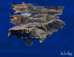 Baby Loggerhead Turtle makes its way thru the clear blue ... by Steven Anderson 